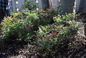 Nandina domestica - Heavenly Bamboo - California Supplemental Exam for Landscape Architects