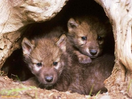 Lobos en Cueva