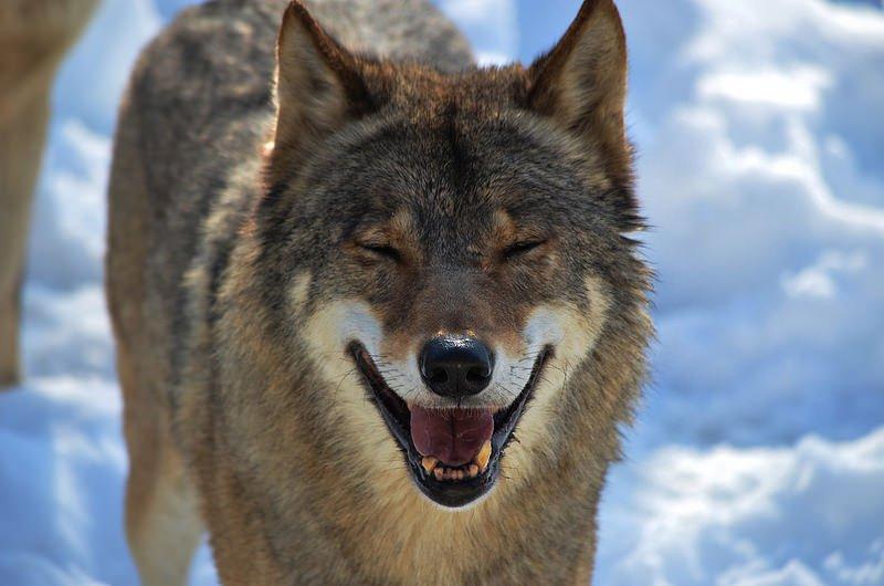 Lobo Sonriente