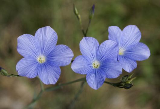 Flor de lino