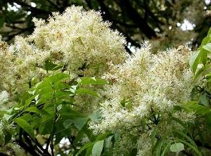 Flor del Fresno