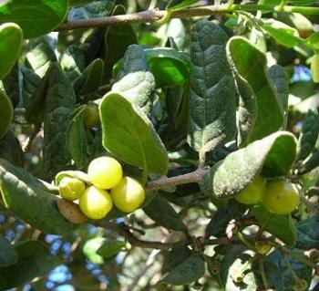 Fruto del boldo