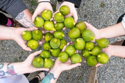 Medium Of Desert King Fig