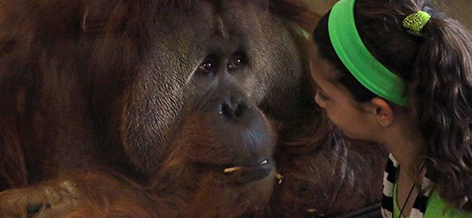 The Indianapolis Zoo opened its orangutan exhibit last week. (Submitted photo.)