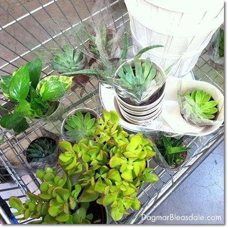 succulents at Ikea