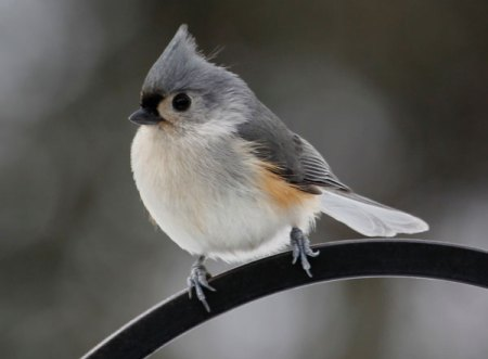 A Tufted Titmouse visits the bird feeder this morning. (Photo by Steve Muise/Farmington)