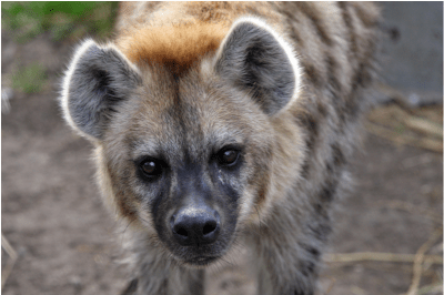 Researchers disagree how to best ensure the financial stability of a hyena colony in the Berkeley Hills.