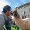 "Tanay Nandgaonkar, ASUC senator and sophomore, feeds a carrot to a llama with his mouth. Llamas were on campus to advertise ""Questival,"" a 24-hour race in which teams compete for trips, gear and more."