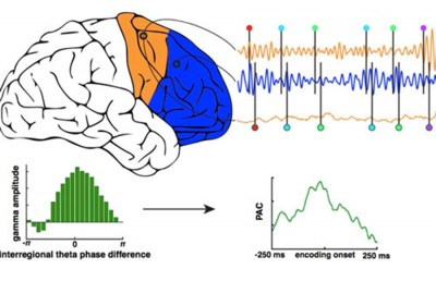 The anterior (blue) and posterior (orange) parts of the frontal cortex sync up to communicate cognitive goals to one another.