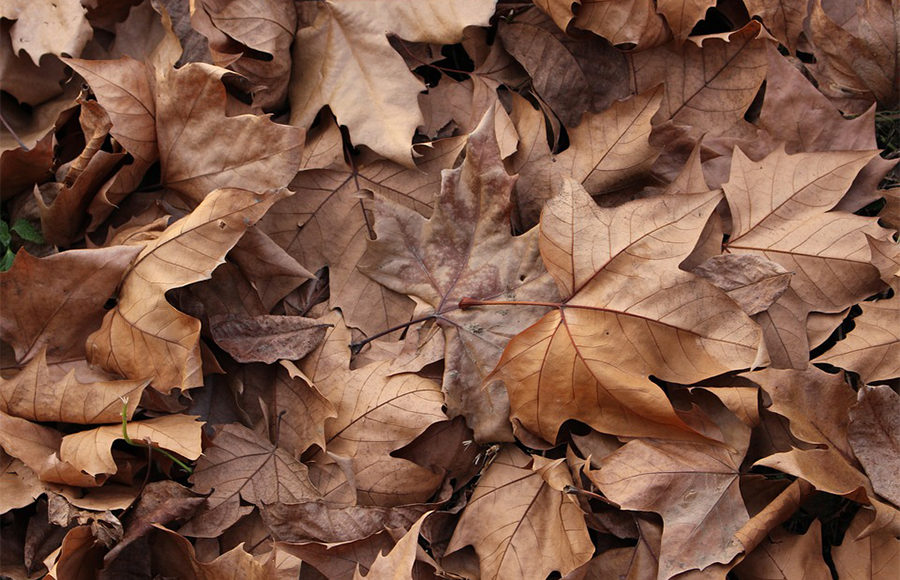 Fallen, brown leaves on the ground.