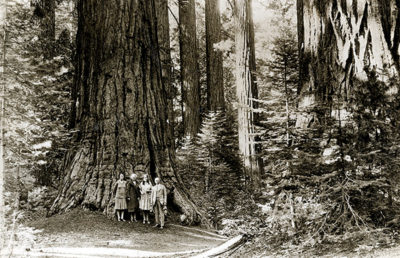 redwoods_the-bancroft-library-uc-berkeley-courtesy