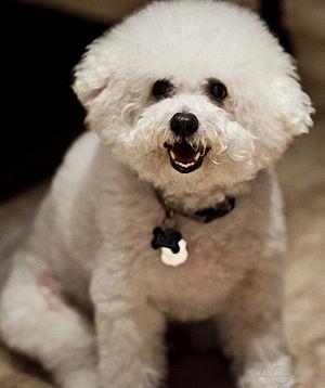 Dog, Bichon, Frise, White, Fluffy, Canine, Dom...