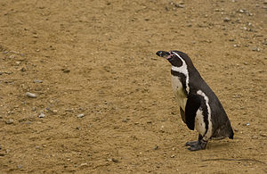 Humbolt Penguin at Whipsnade Zoo.