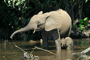Forest elephants in the Mbeli River, Nouabalé-...
