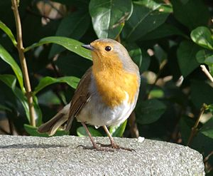 One of the resident robins in my garden.