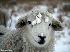 X-mas sheep