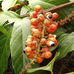 Supplementing with Guarana