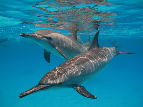 The reefs, resting grounds for the dolphins, are declared a sanctuary and will be closed to all diving and snorkelling activities for one month (Photo courtesy of HEPCA)