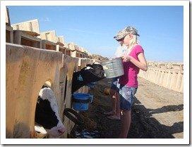Feeding the baby calves