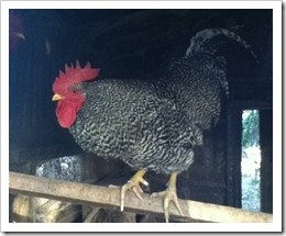 Roosty the rooster