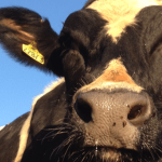 Interesting Facts about Cows