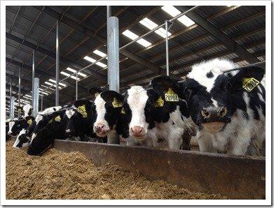 Heifer Calves Eating