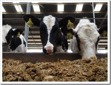 Two Holstein Heifers