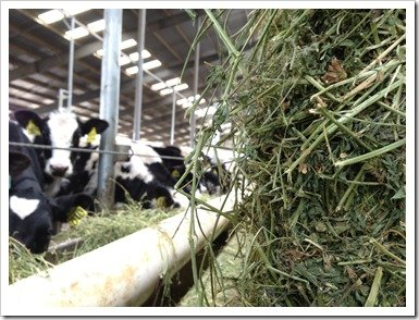 Heifers eating Alfalfa Hay