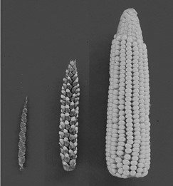 left teosinte, right maize