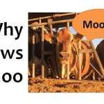 Why do cows moo?
