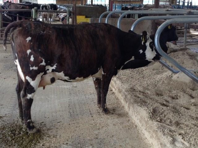 Normande (Redondo) X Jersey (Juan) X Holstein (Tomahawk)