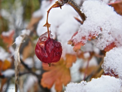 gooseberry, ripe, red, frost, snow, ice, winter, fall, fruit, Ann Edall-Robson