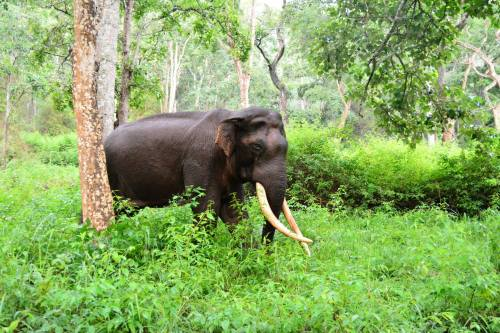 One of several Elephants that Jadeswamy photographed in BR Hills few months back