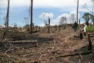 deforestasi hutan primer  (inet).  (walhi.or.id)