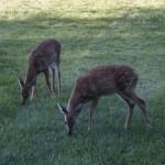 140829-deer-002