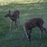 140829-deer-004