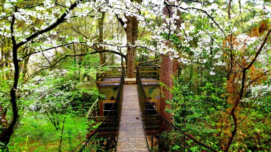 Macon, Georgia Cherry Blossoms