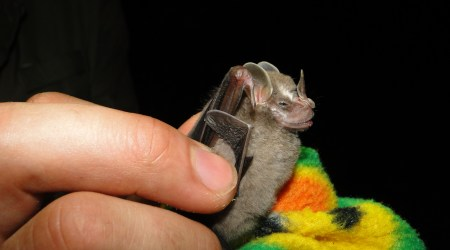 Pygmy fruit-eating bat (Artibeus phaeotis)