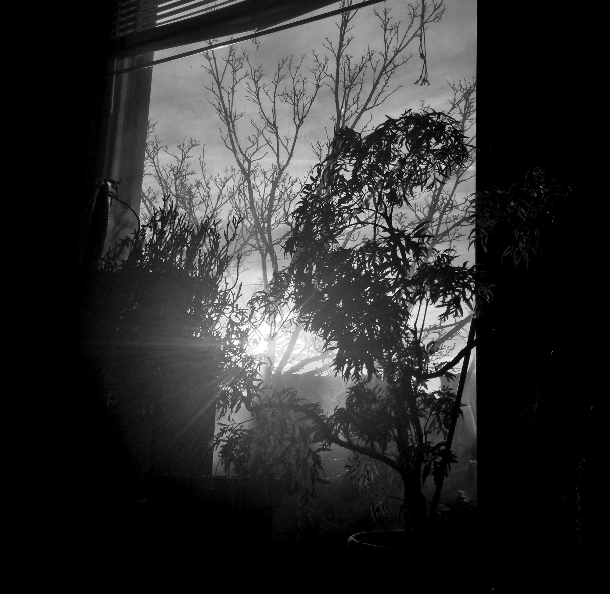 Ming Aralia in front of a window / Darker than Green