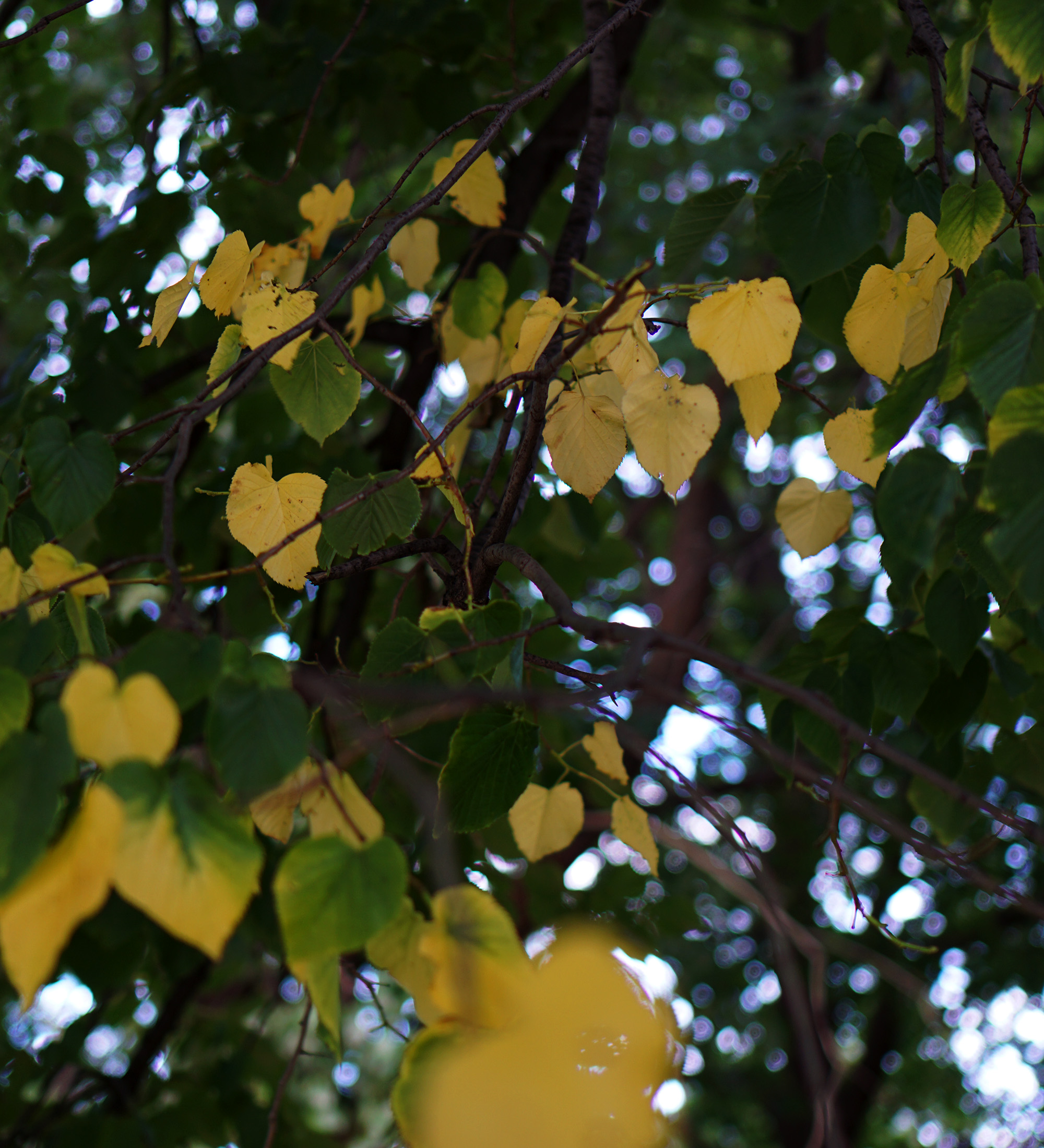Leaves turning yellow / Darker than Green
