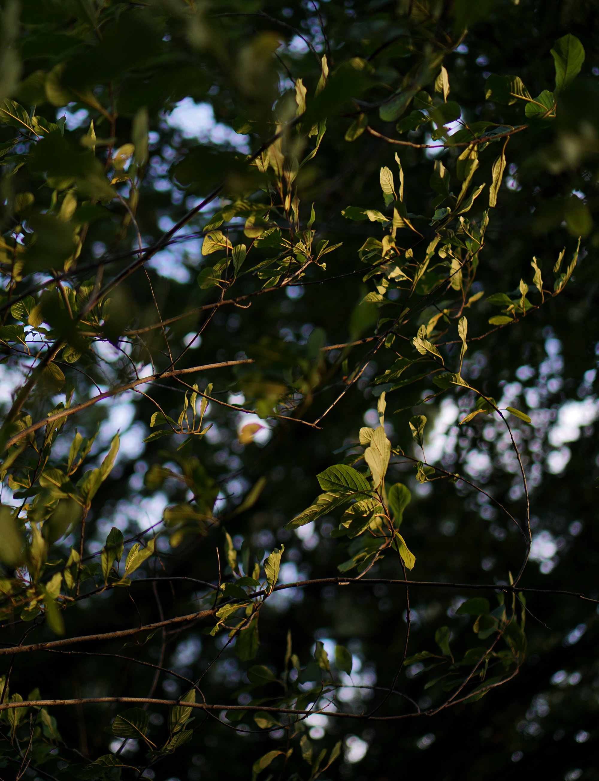 Green leaves at sunset / Darker than Green