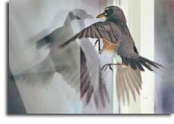 Bird_hitting_window