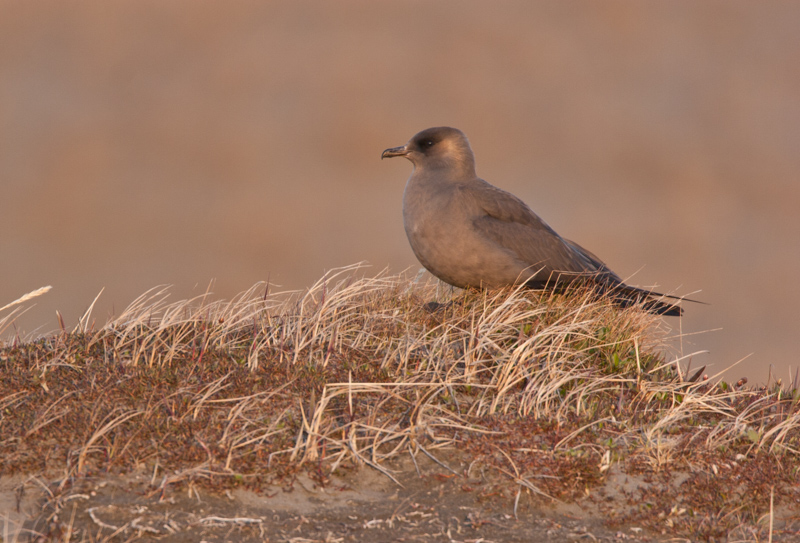 A dark-phase Parasitic Jaeger sits on a grassy dune near the coast of the Arctic National Wildlife Refuge.