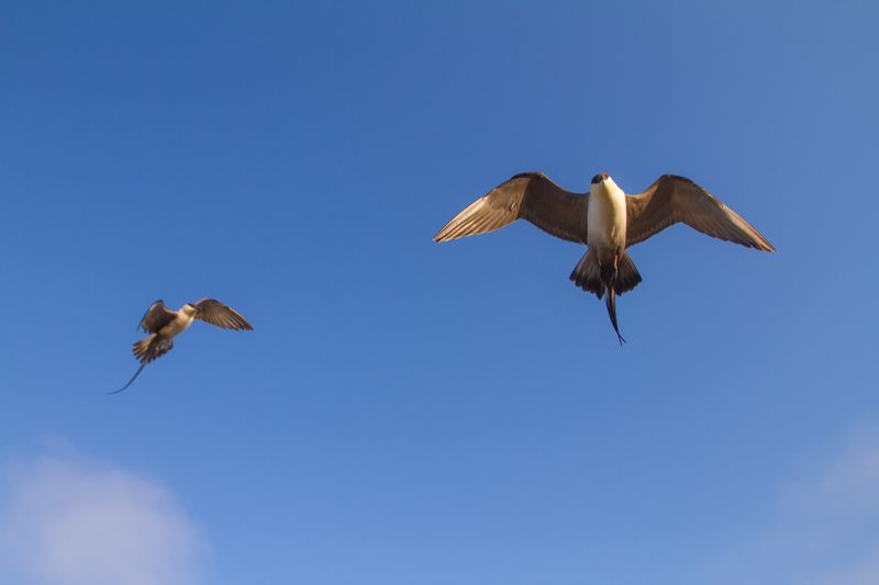 A pair of Long-tailed Jaegers fly above the tundra in the arctic. Note the two long thin tail feathers