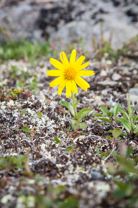 Alpine Arnica (Arnica alpina) is one of the more common asters we saw as we walked.