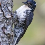 Woodpeckers and Wildfires