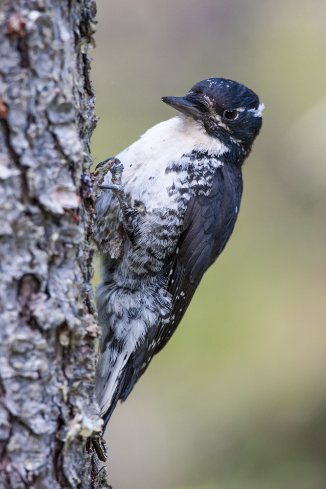 Female Three-toed Woodpecker.