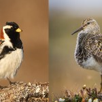 Shorebirds vs. Songbirds: The Battle for the North Slope