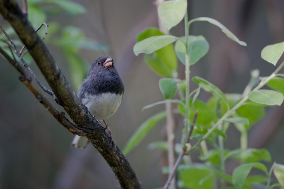 Dark-eyed Juncos frequently occur in mixed-flocks during fall.