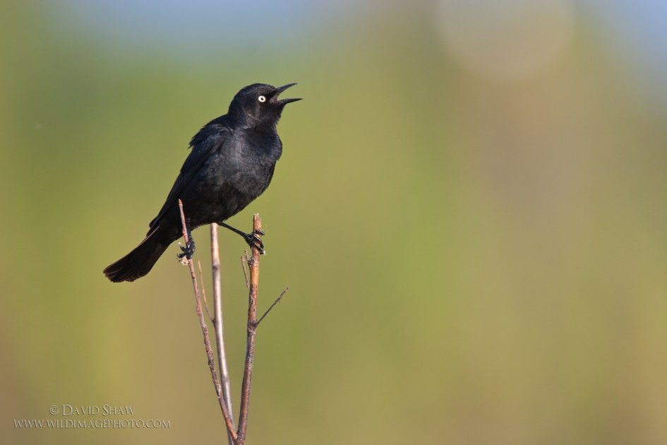 A male Rusty Blackbird, in breeding plumage, sings from a willow in the boreal forest near Fairbanks, Alaska.